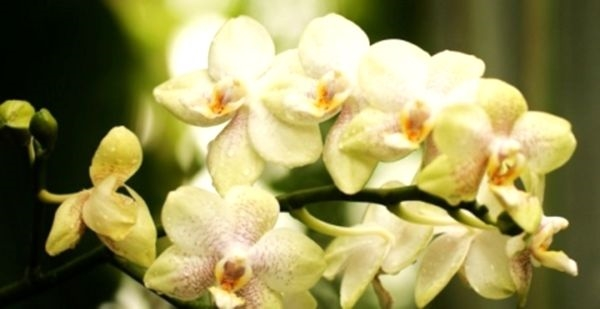 Почему цветы орхидеи быстро вянут цветы