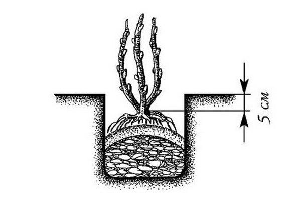 Как сажать калину: выращивание и уход за кустами 72