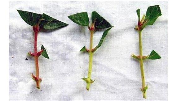 Технология выращивания жимолости съедобной 28