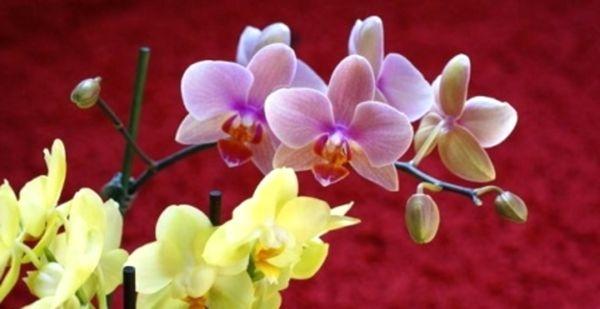 У орхидеи опадают цветы