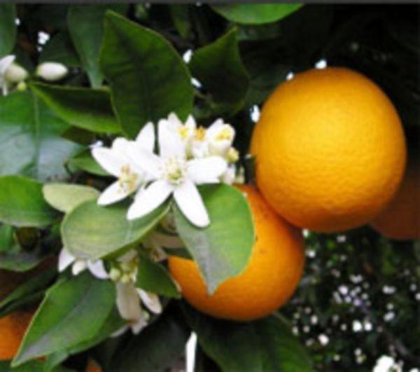 Условия для выращивания апельсинов 764
