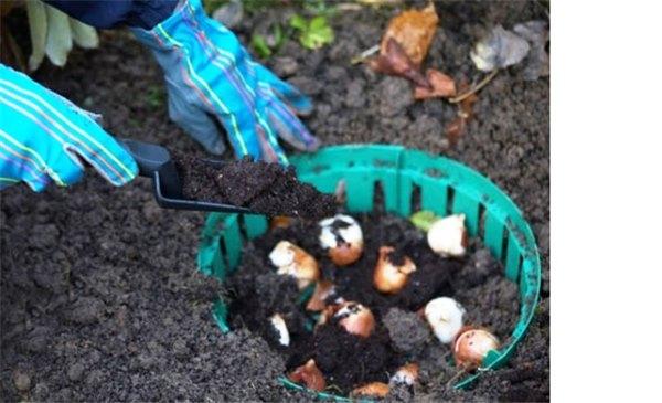 Когда лучше сажать тюльпаны осенью
