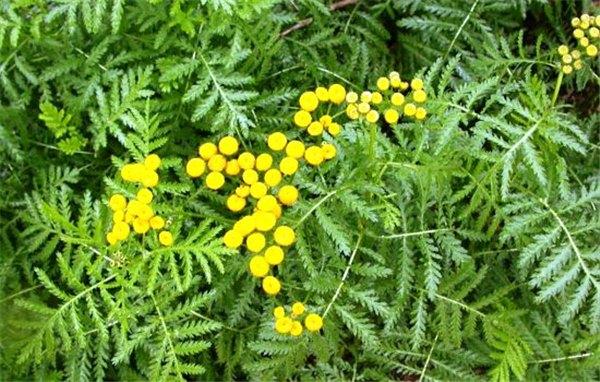 Лечебные свойства растения пижма