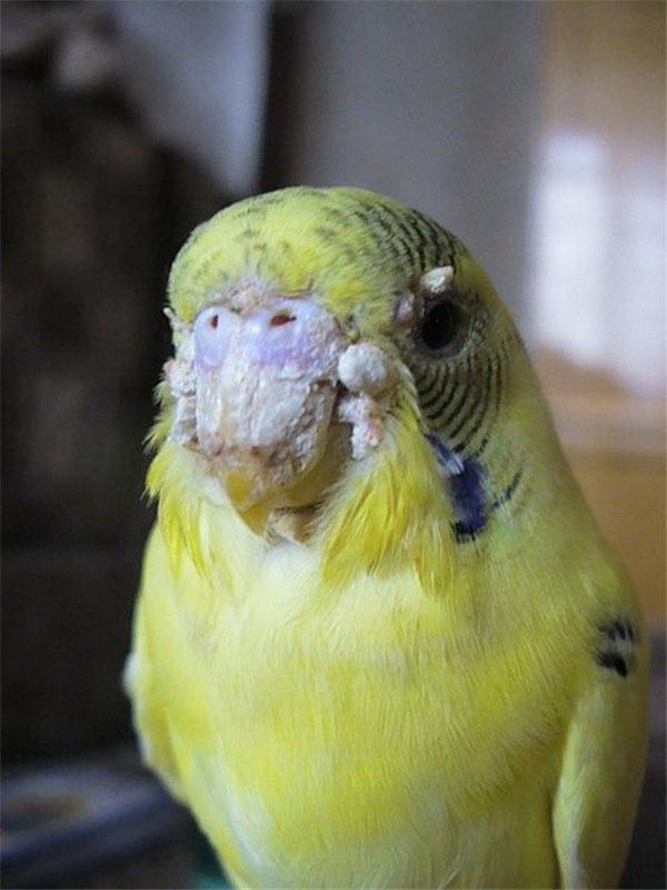 Волнистые попугаи уход болезни