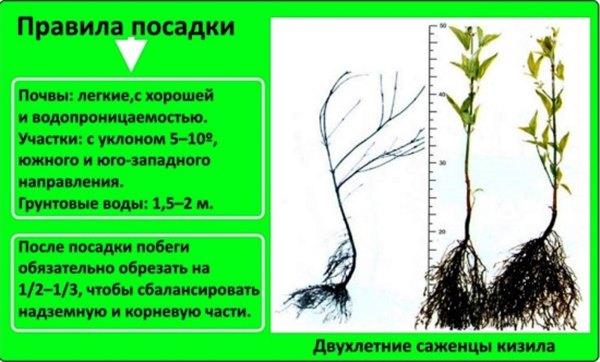 Ягодные кустарники: выращивание кизила на даче